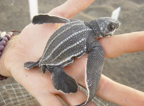 Leatherback on the hand