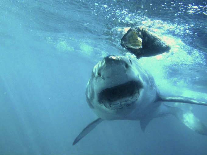 Diving With Great White Sharks In South Africa Flight