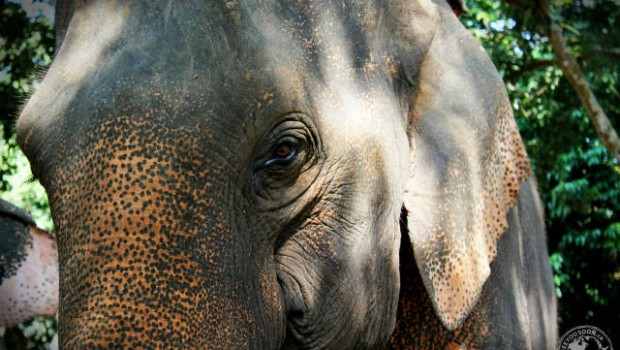 elephant close-up,