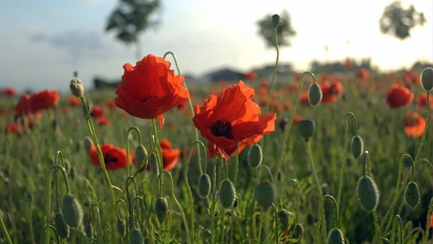 Poppies Flanders Fields