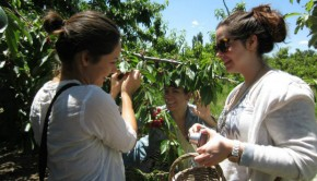 Three ladies cherry picking in Argentina