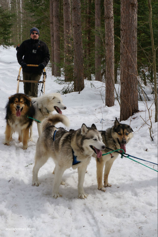 dogsledding in algonguin