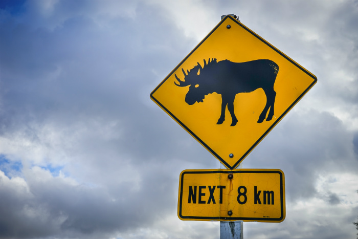 Moose Crossing Newfoundland