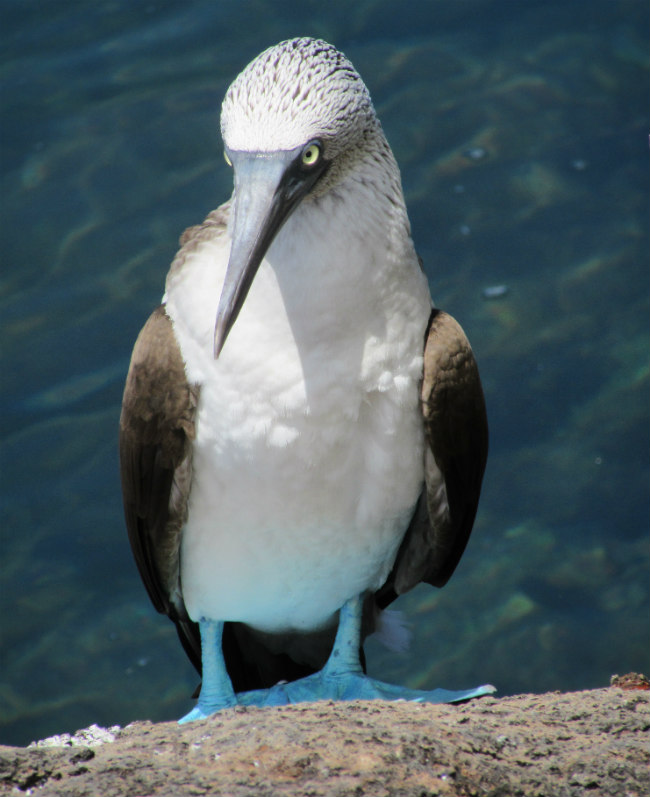 Blue footed booby_Galapagos
