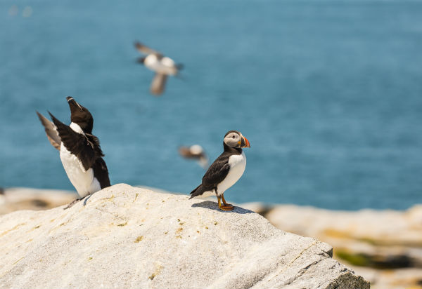 puffin iStock_68613569