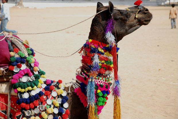 A_decorated_camel_at_Pushkar_Camel_Fair