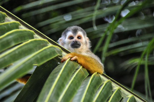 squirrel monkey in arenal volcano costa rica