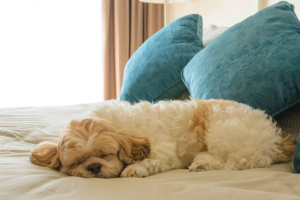 puppy sleeping on a hotel bed