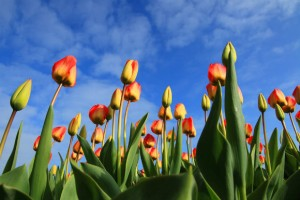 tulips amsterdam netherlands fare of the month klm