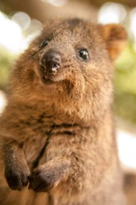 cute cuddly quokka australia's happiest animal hug an aussie day