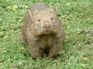 cute cuddly wombat in australia hug an aussie day april 26