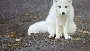 arctic fox in the wild