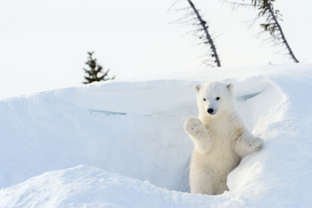 polar bear waving in a bank of snow