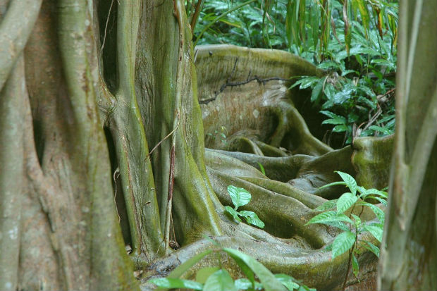 cool roots in belize ancient trees beautiful