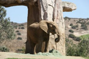 cute happy elephant san diego zoo california toursism family vacations flight centre