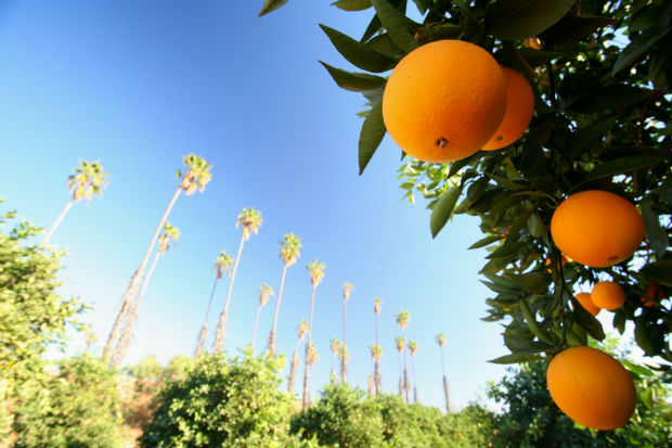 california navel oranges and palm trees