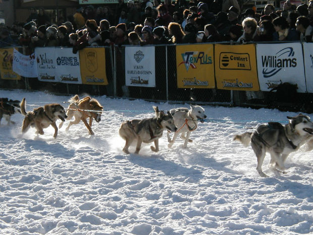 sled-dogs-yukon-quest-race