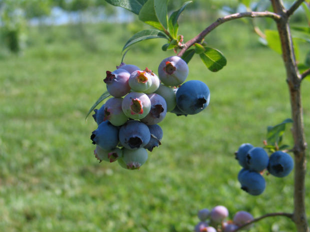 saskatoon berries local berry blue purple delicious local saskatchewan food canada