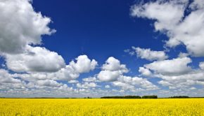 bright yellow canola fields in the prairies of manitoba