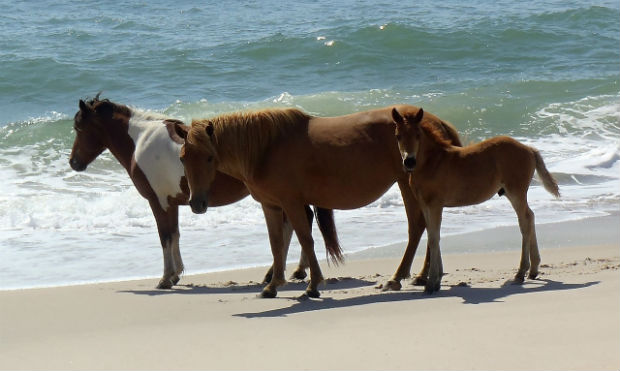 wild-horses-north-carolina