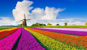 fields of tulips in front of a windmill in the netherlands