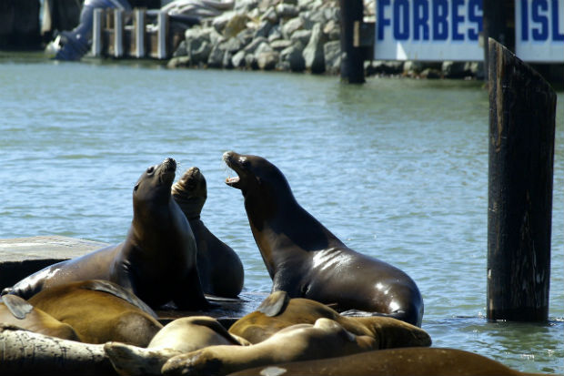 san-fran-harbor-seals-pier-39