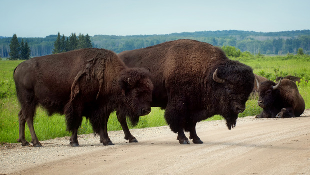 bison-buffalo-crossing-in-canada-national-park