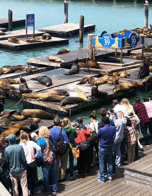 pier 39 sea lions san francisco