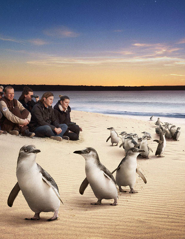 penguins on phillip island australia