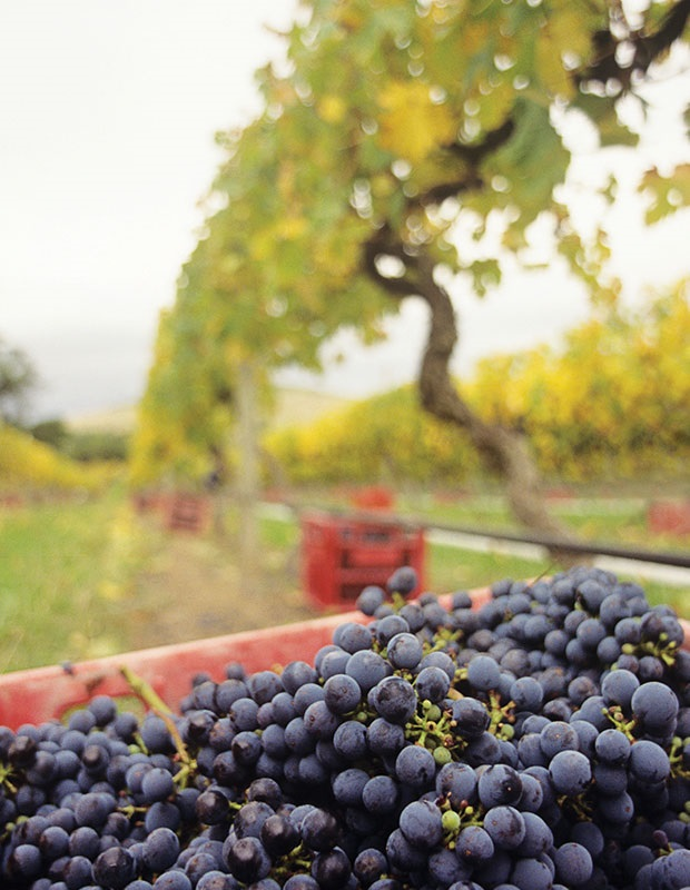 Yarra Valley Grape Harvest in Melbourne, Australia