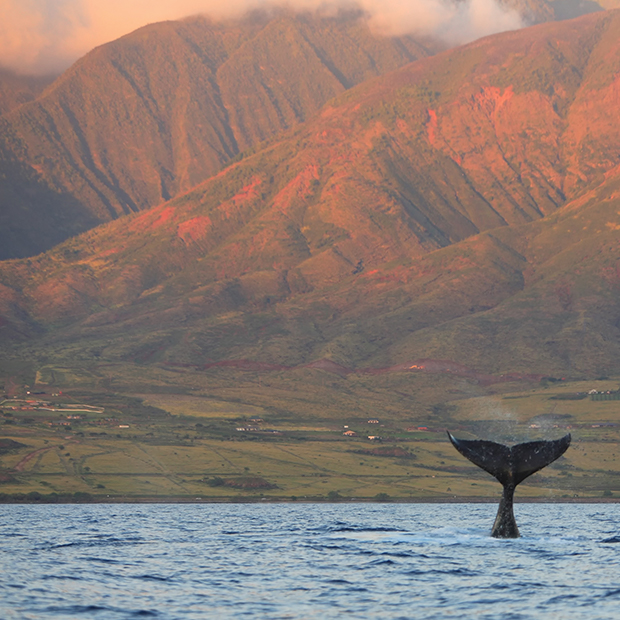 hawaii-whale-watching