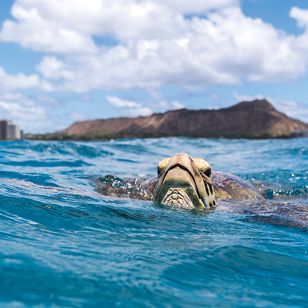 hawaii-waikiki-sea-turtles