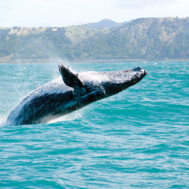 maui-attractions-humpback-whales-hawaii-whale-tours