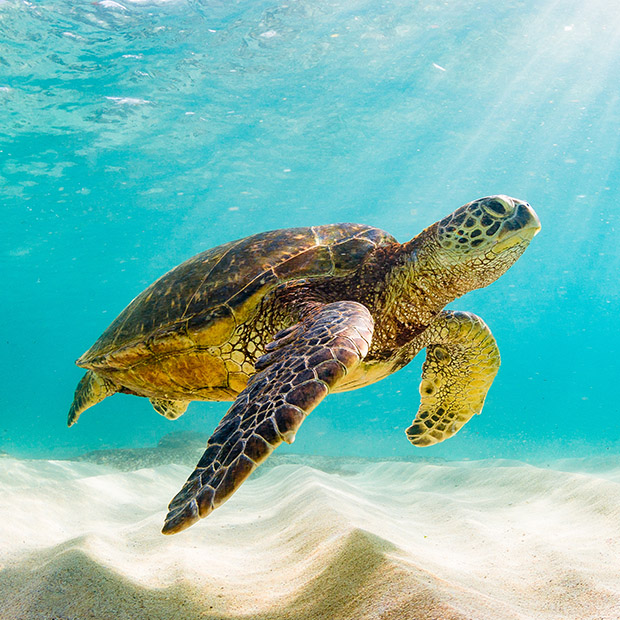 Things to do in Hawaii sea turtles
