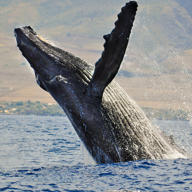 Things to do in Hawaii watch whales