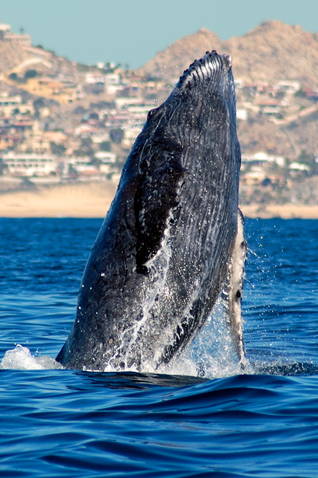 Things to do in Cabo San Lucas, whale watching