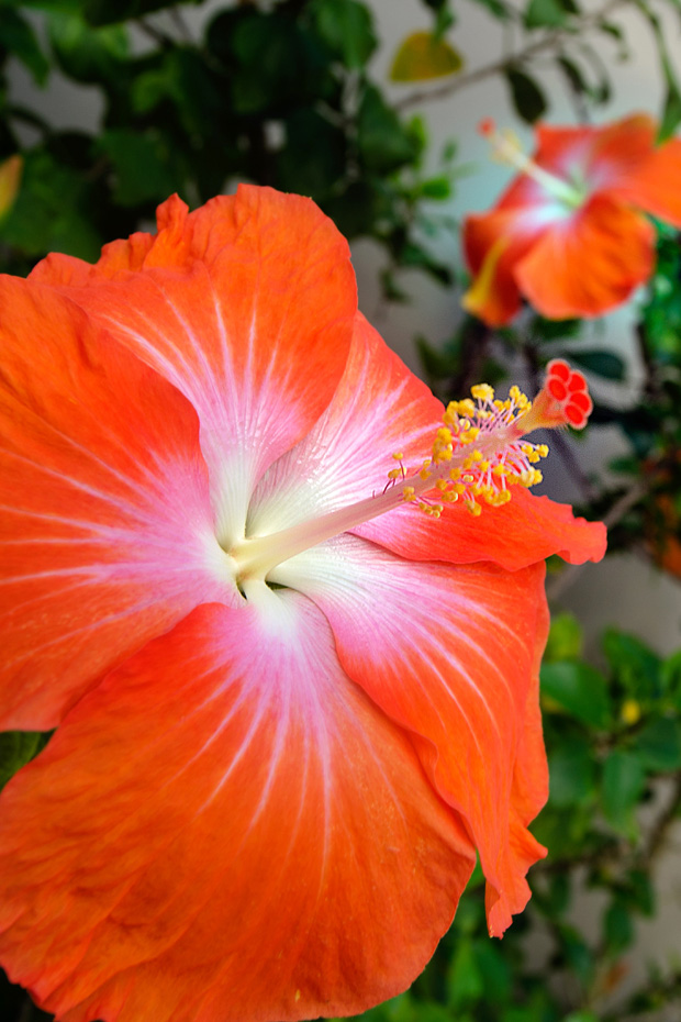 red hibiscus in the aitutaki lagoon cook islands