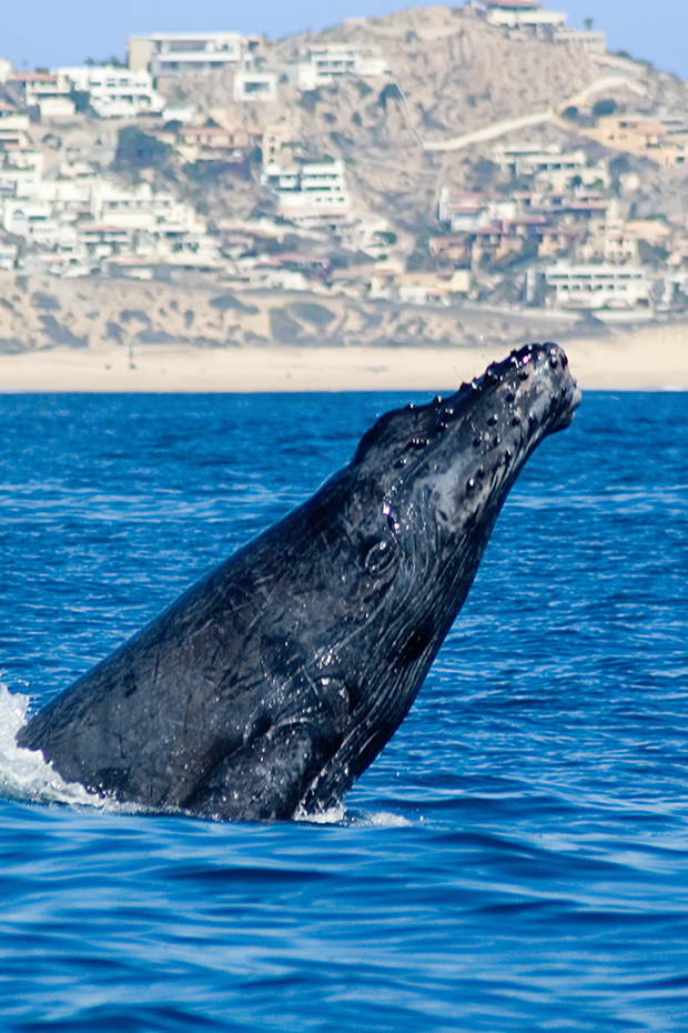 Los Cabos tours, whale watching