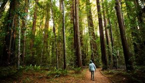 woman walking through forest of redwoods
