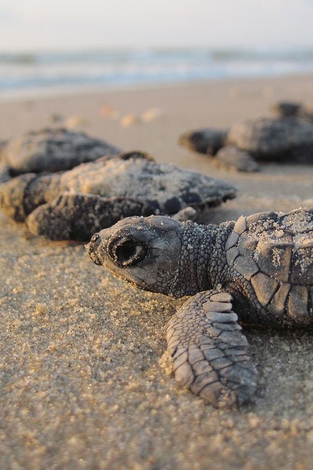 Baby sea turtles in St Lucia