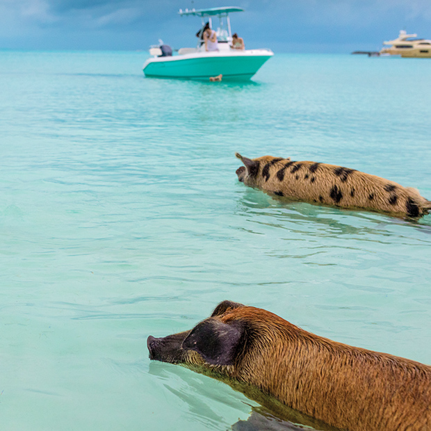 Better Beach Bahamas Swimming with Pigs