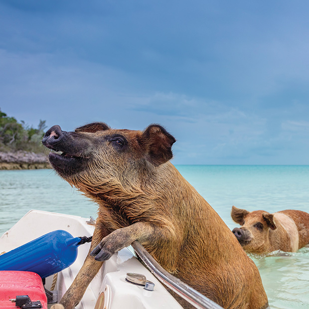 Swimming with Pigs in the Bahamas - The Famous Pig Island, Exuma