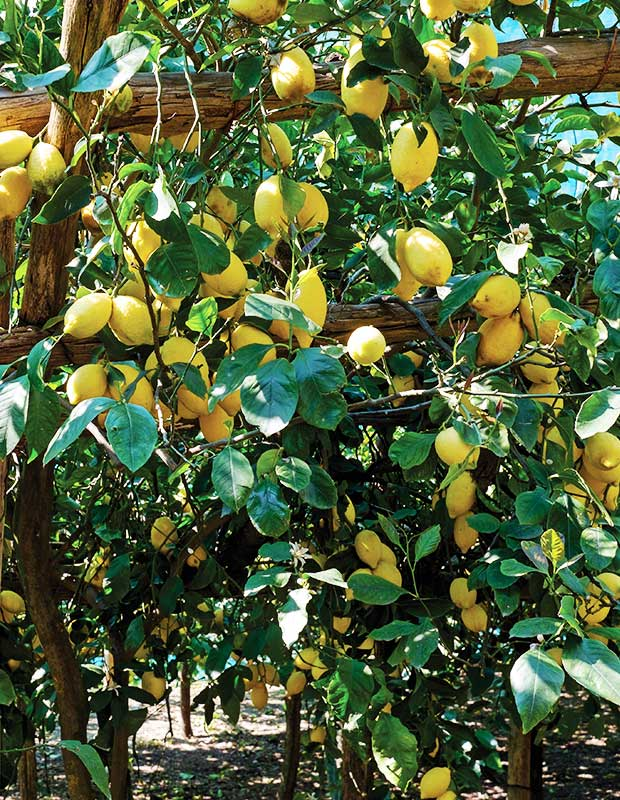 Amalfi lemon groves