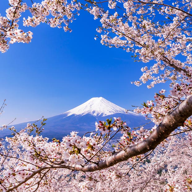pink cherry blossoms frame mount fuji in japan