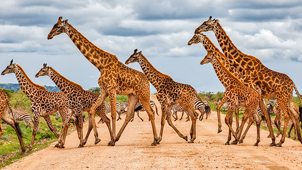 giraffes crossing dirt road
