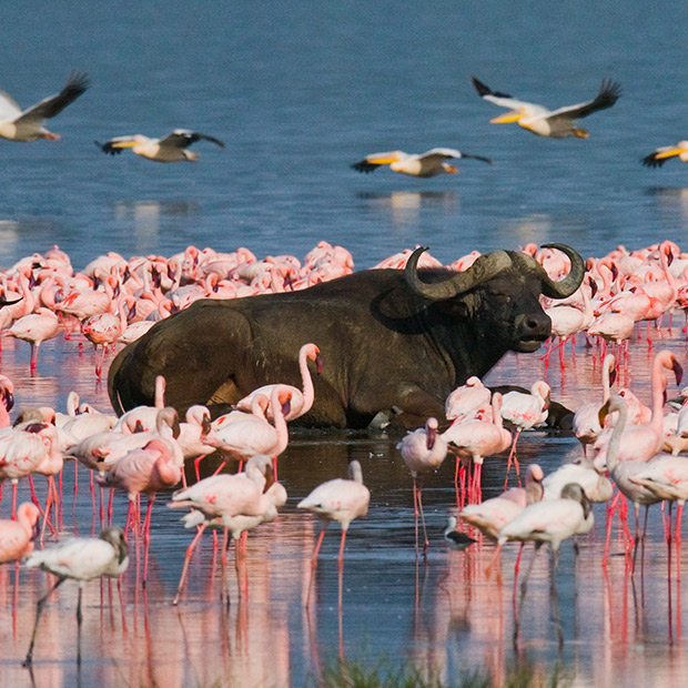 water buffalo and flamingos in water