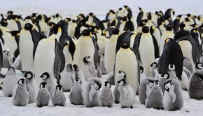 group of Emperor penguins in Antarctica