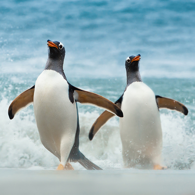 A couple of Gentoo penguins returning from the sea