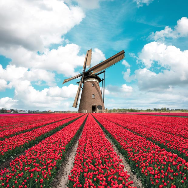 Field of red tulips and a windmill in Holland