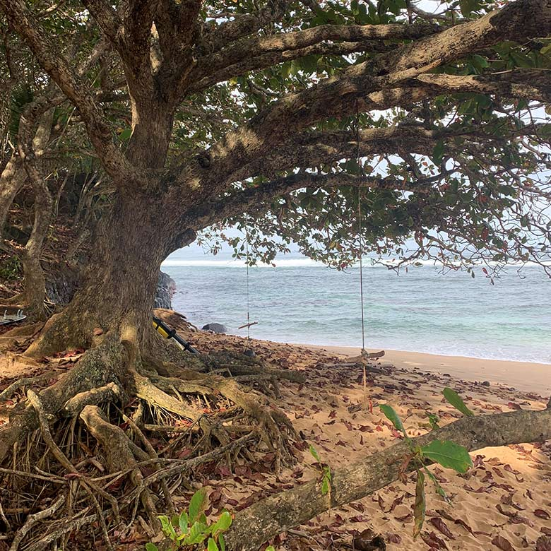 lush tree on the beach with a swing in princeville